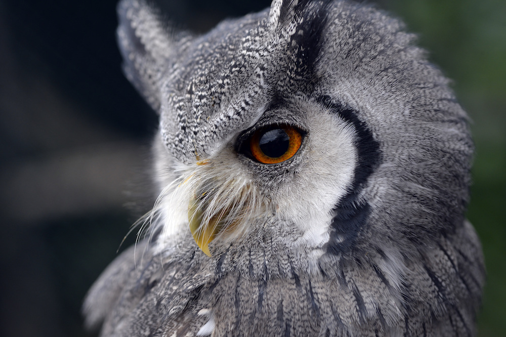 Merlin White Faced Scops Owl at Leeds Castle. Photo Credit: © Leeds Castle.